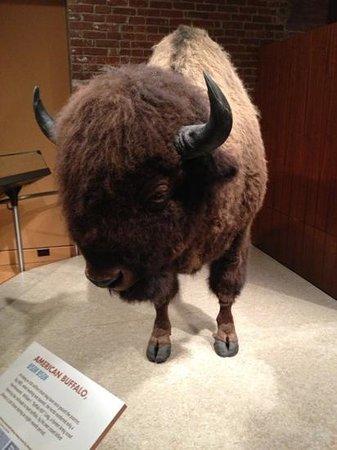 Frazier History Museum : Bison!