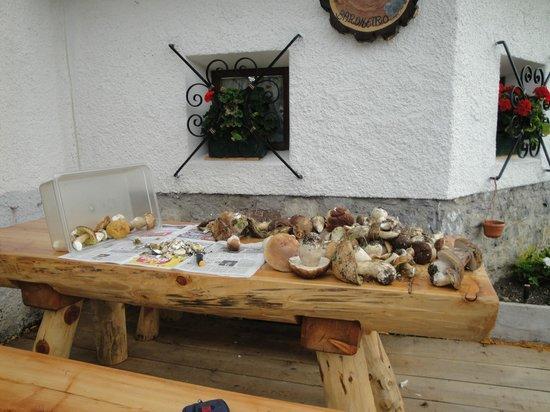 Vigo di Cadore, Italia: raccolta funghi porcini