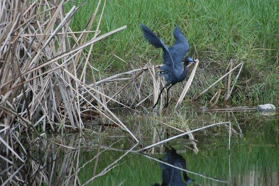 West-End Paradise:                   Blue Heron im Garten - Sicht von unser Terrasse