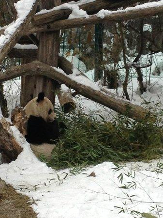 Kolpinghaus Wien-Zentral:                   Панды из зоопарка во дворце Шенбрунн