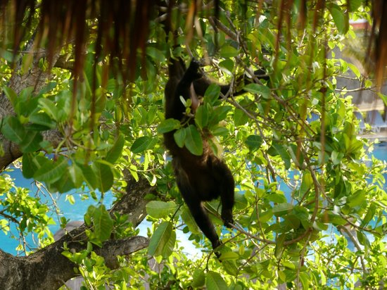 Iberostar Tucan Hotel:                   Monkeys can come to your balcony