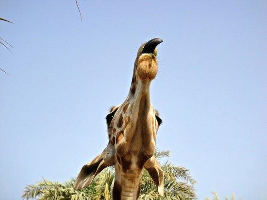 Emirates Park Resort:                   Giraffes outside Your Room                 