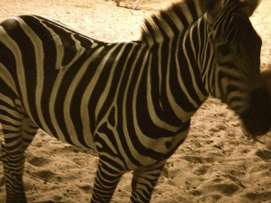 Emirates Park Resort:                   Zebras When You Wake Up