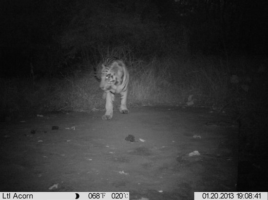 Tiger Trails: tiger at waterhole
