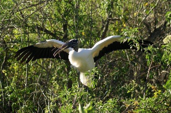 Gatorland:                   Wood stork