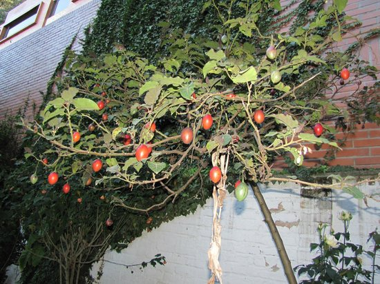 Hostal Nuestra Residencia :                   A very cool tomato tree in the back yard.