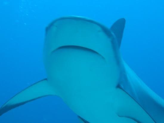 Bananarama Beach and Dive Resort:                   sharks dive