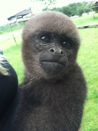 The Monkey Island:                   Anita (Woolly Monkey)