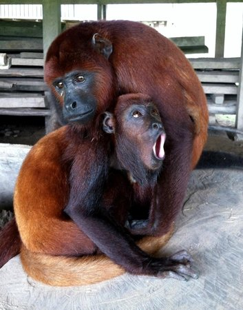 The Monkey Island:                   Sueca and Perla (Howler Monkeys)