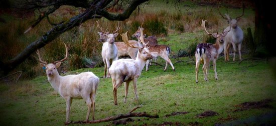 Swinton Park Country Club and Spa:                   Fallow Deer