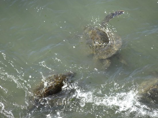 Royal Kahana:                   Turtles directly below our lanai