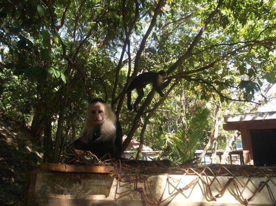 Fantasy Island Beach Resort:                   A couple of the monkeys @ Fantasy Island..so cute!!