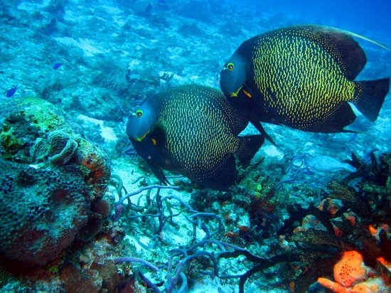 Dive House:                                     Angel fish Palncar reef