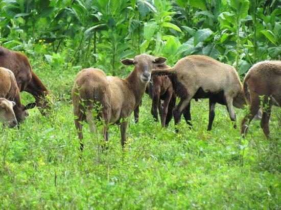 Finca Los Genizaros Farm Stays: Sheep