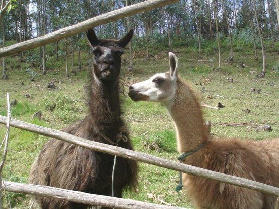 Ali Shungu Mountaintop Lodge:                   Which is the kissing llama?