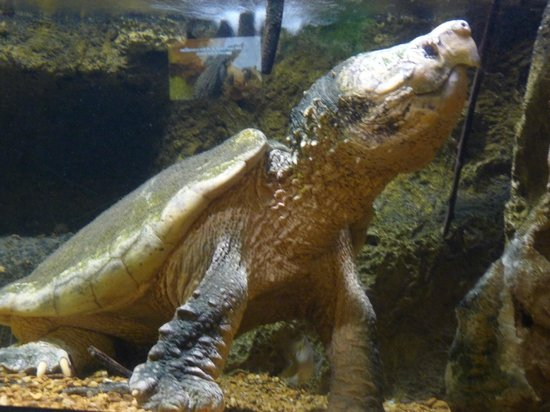 Newport Aquarium:                   Alligator snapping turtle