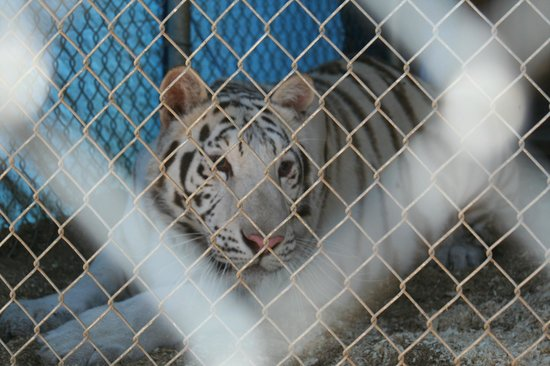 The Barry R. Kirshner Wildlife Foundation:                   white tiger