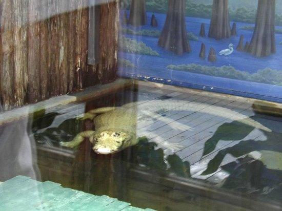 Gatorland: White gator