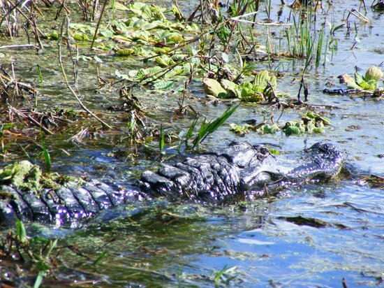 Florida Airboat Excursions:                   BIG gator swimming right off the side of the boat.