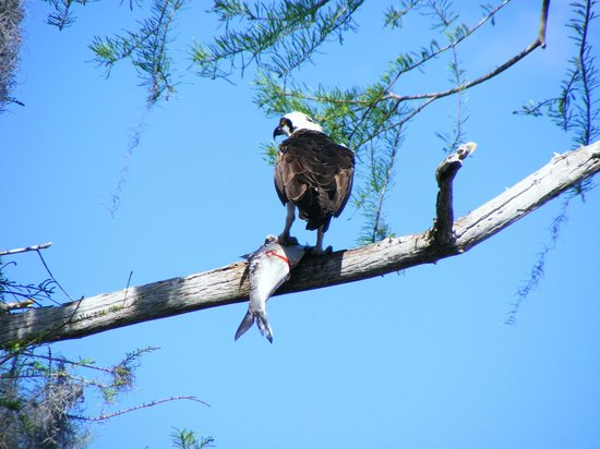 Florida Airboat Excursions:                   Bird of prey with his catch of the day!