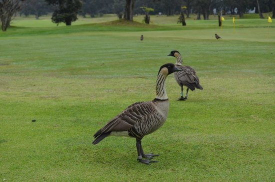 Discover Hawaii Tours: NeNe Hawaiis national Bird