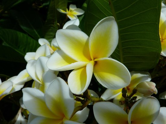 Capella Lodge:                   Lord Howe Frangipani