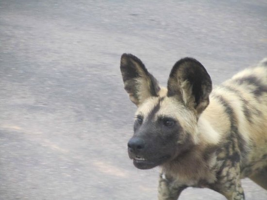 Kambaku Safari Lodge:                   Wild dog sighting at Kambaku
