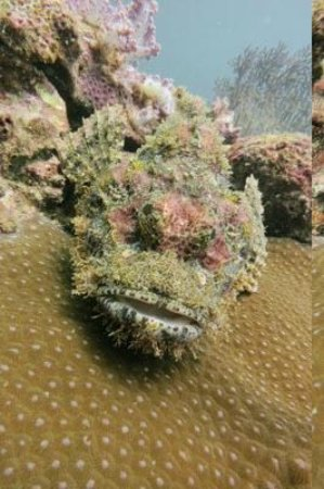 Super Divers:                   scorpion fish