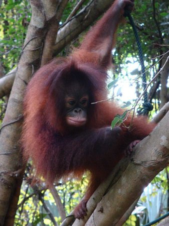 Shangri-La's Rasa Ria Resort & Spa: Baby Orang Utan in the resort's park