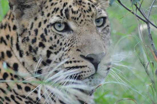 Inyati Game Lodge: Up close to the leopard