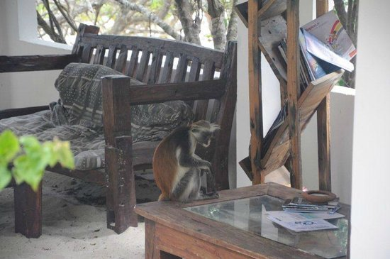 Red Monkey Beach Lodge:                                     monkeys at the outdoor library