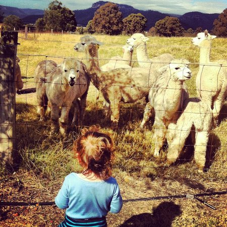 Starline Alpacas Farmstay Resort:                   Alpaca Feeding