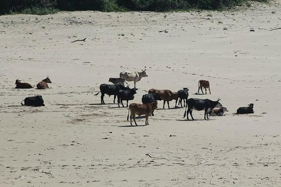 The Haven : Local Nguni cattle which come down onto the beaches