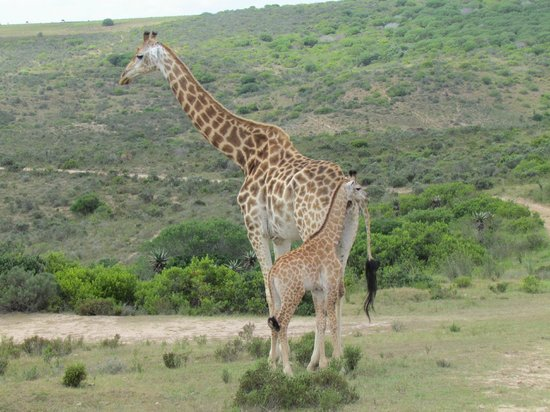 Nyaru Private Game Lodge:                   Giraffe with baby