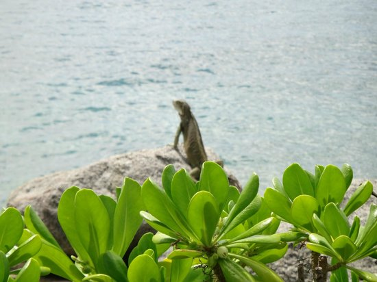 Renaissance Aruba Resort & Casino:                   iguanas del hotel