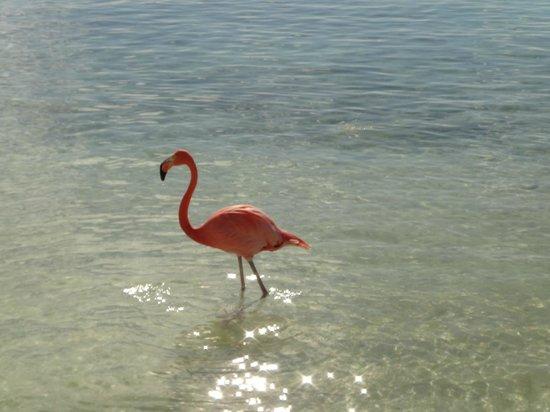 Renaissance Aruba Resort & Casino:                   flamingo beach - isla renaissance