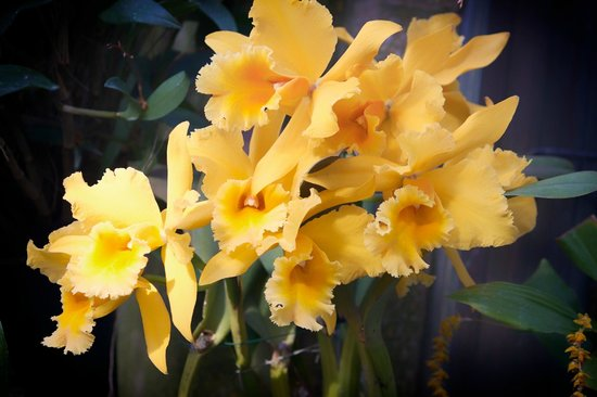 Longwood Gardens:                   Orchids in exhibit