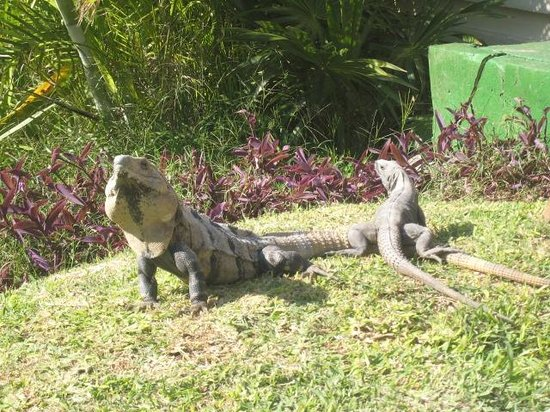 Grand Bahia Principe Tulum:                   iguanas in the hotel gardens