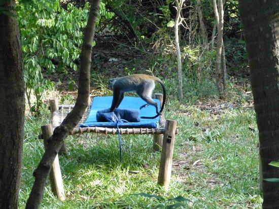 Unguja Lodge: Monkey on lounger in lodge garden