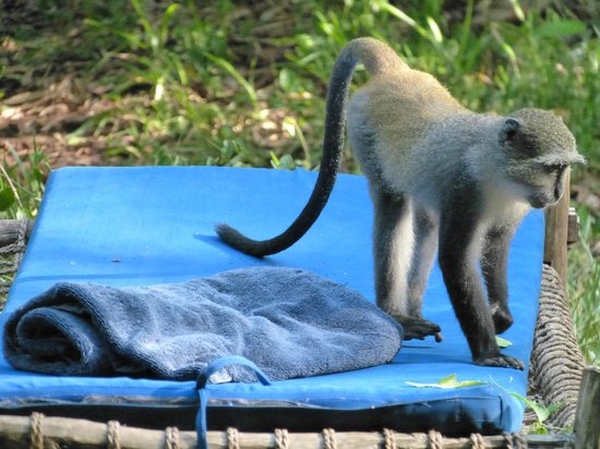 Unguja Lodge: Monkey on lounger in lodge garden