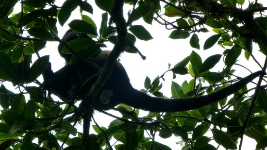 Monteverde Country Lodge:                   Howling Monkey