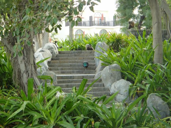 JA Jebel Ali Beach Hotel: Peacocks roaming the grounds
