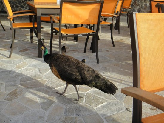 JA Jebel Ali Beach Hotel: Peacock roaming Anchor Bar