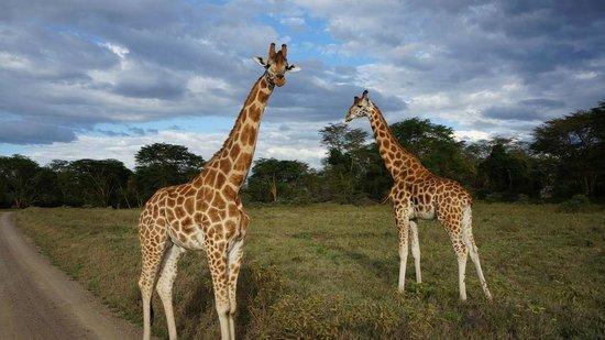 Africa Veterans Safaris - Day Tours:                   長頸鹿