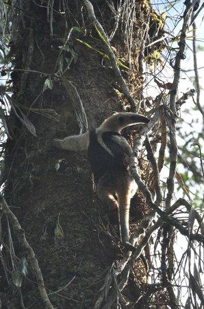 Parque Nacional Braulio Carrillo:                   anteater foraging in a vine enveloped tree