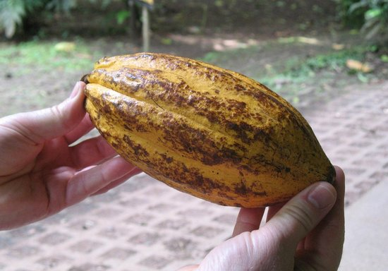 Tirimbina Biological Reserve:                   Cocao pod - contains the beans