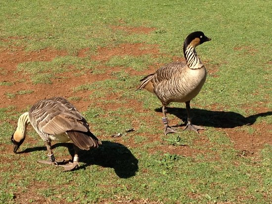 Kilauea Point National Wildlife Refuge: Nene Geese