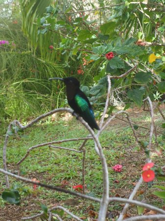 Residence Hoteliere Les Cayalines:                                     Le colibri qui pose pour la photo, à la réception !