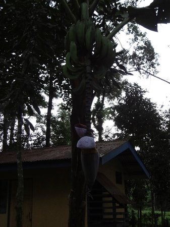 Cerro Chato Eco Lodge:                   Banana tree.