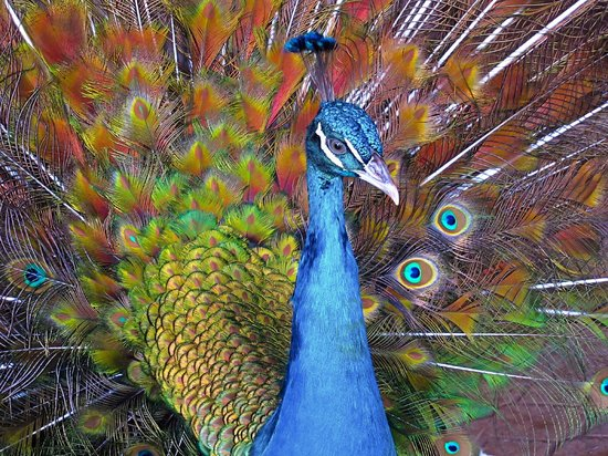 Philip's Animal Garden: there was a very happy peacock!